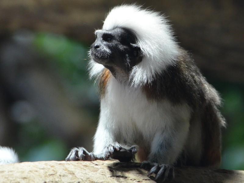 """Képtalálat a következőre: """"Liszt-majmocska"""""""